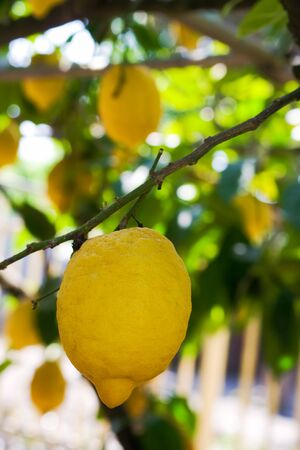 Lemon hanging on a tree in Sorrento, Italy Stock Photo