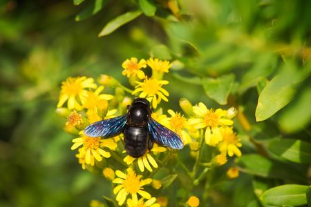A big European carpenter bee (Xylocopa violacea) pollinating flowers