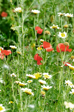 uncultivated: Rich wildflower meadow on uncultivated land. Shallow depth of field.