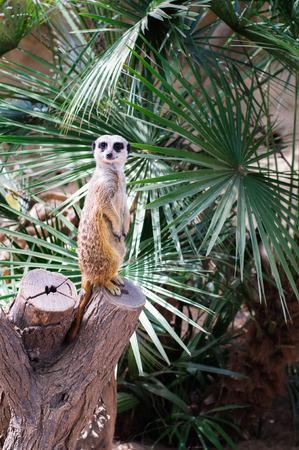 Merkaat, standing guard on a cut tree at zoo Stock Photo