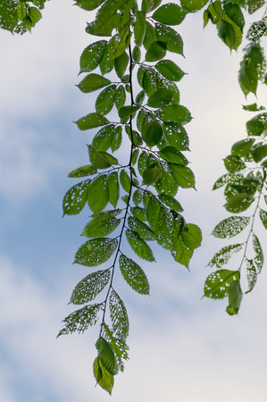 Leaves on a branch damaged by parasites. Stock Photo