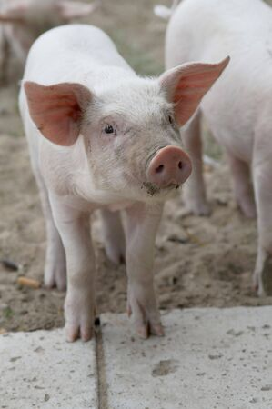 barnyard: Small funny piglet, looking, animal, pig, nose  Stock Photo