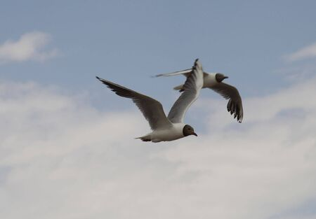 Two seagull, fly, birds, blue sky, big