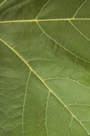 Green maple leaf background close up photo