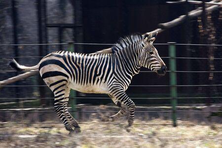 Skipping zebra, animal, black and white strip photo