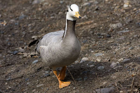 One wild geese, bird, animal, nature Stock Photo - 4775265