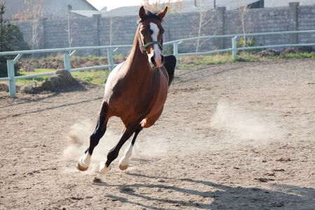 The brown horse with a white strip on a muzzle skips in a shelter