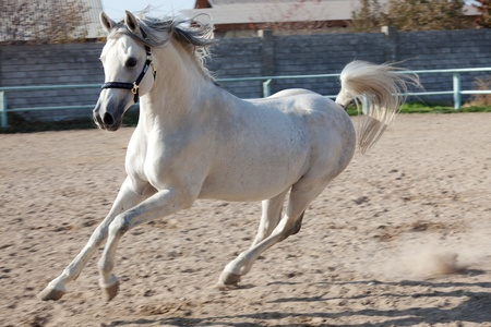 The white horse skips in a shelter I leave after itself dust traces Stock Photo