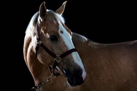 Portrait of a horse in studio on a black background Stock Photo