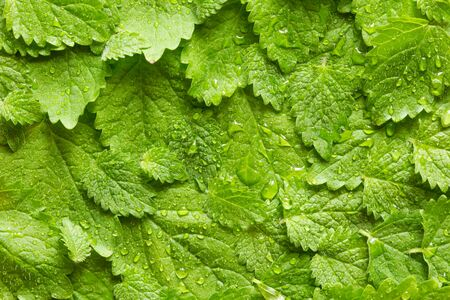 deatil: Lemon balm leaves folded over each other with water drops.