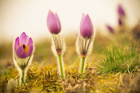 pasque: Pasque Flower at sunrise. Stock Photo