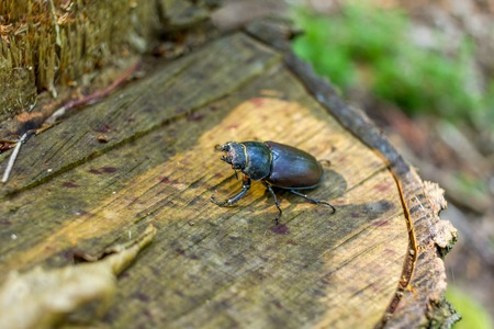 entomological: Females of the stag in the woods close to the stump.