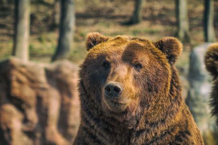 Kamchatka brown bear. Closeup.