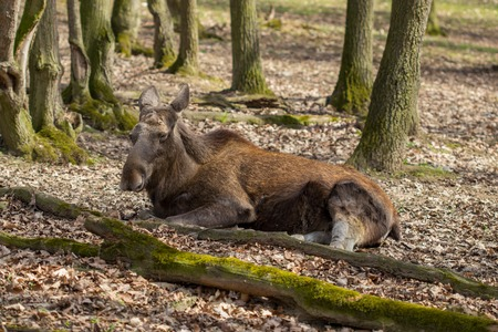 Moose in the woods. Stock Photo