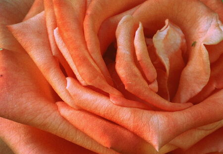 zoomed in: A rose close up
