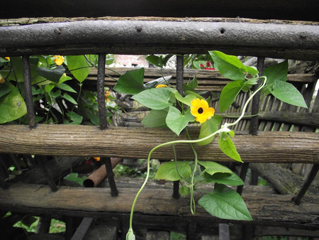 creepers: Yellow flower creepers entwined in page carts.