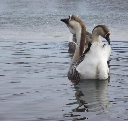 ravishing: Ravishing pair of wild geese. Stock Photo