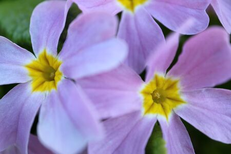 Purple Primula with soft petals,yellow stamens and green leaves,purple primula in the garden,purple flowers,spring flowers macro,floral photo,beauty in nature,macro photography ,stock photo