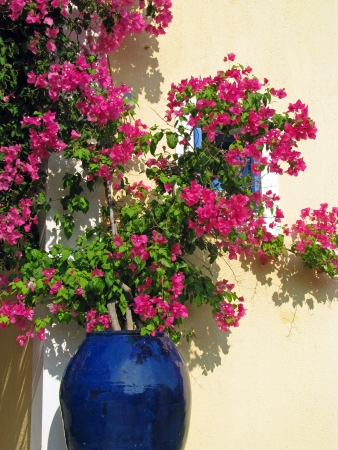 Bougainvillea in blue ceramics pot photo