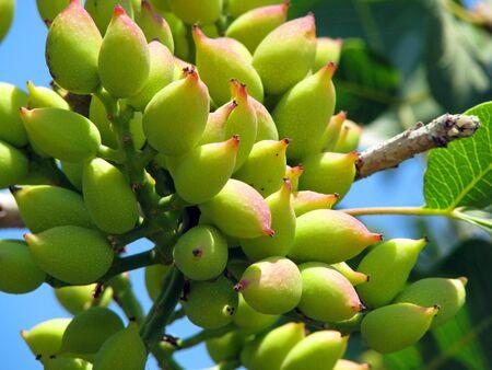 Almond growing under the sun