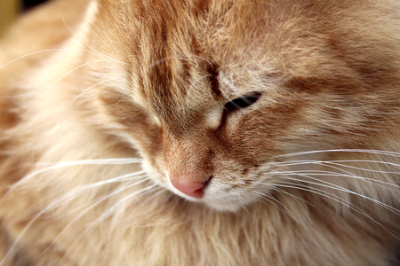 modest ginger cat sitting and looking down 免版税图像