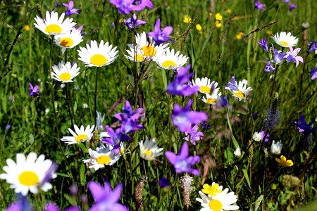 a lot of daisies and bluebells sprawled on a meadow