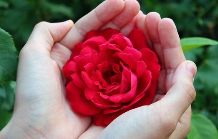 bright red rose is on women's hands Banco de Imagens