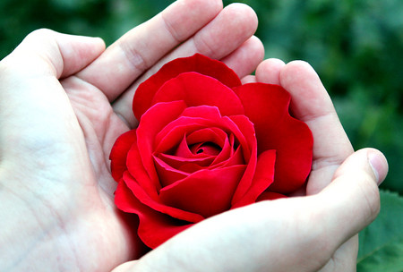 bright red rose is on womens hands