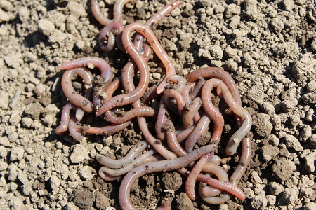 earthworms lie in a heap on the ground