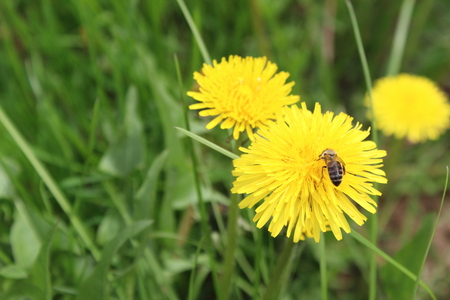 Bee collects nectar from a yellow dandelion Stock Photo