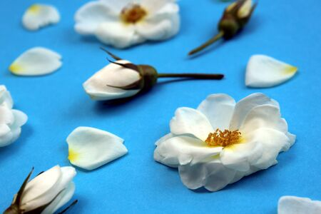 White wild rose flower buds laid out on a table