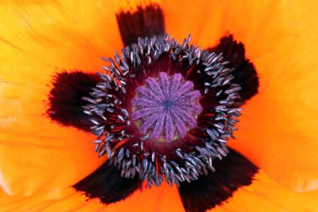 red poppy flower close up with pistil and stamen
