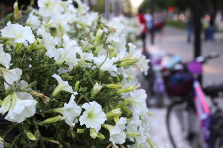 white petunia flowers grow in the park