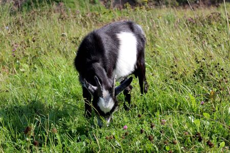 Black and white goat grazes in a meadow and eats fresh grass