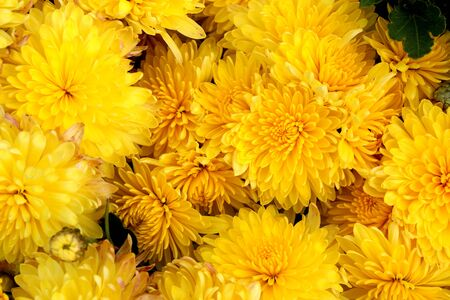 Texture of yellow fresh chrysanthemum flowers in summer