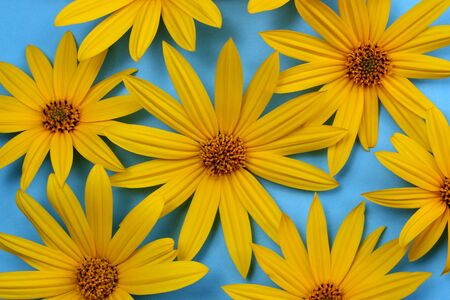 texture of fresh yellow daisies on a blue background