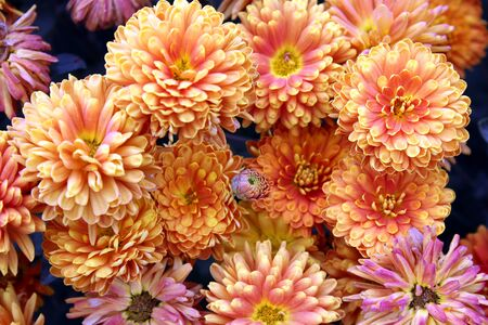 texture bouquet of freshly picked orange chrysanthemum Stock Photo