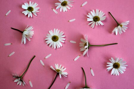 texture of fresh daisies on a pink background