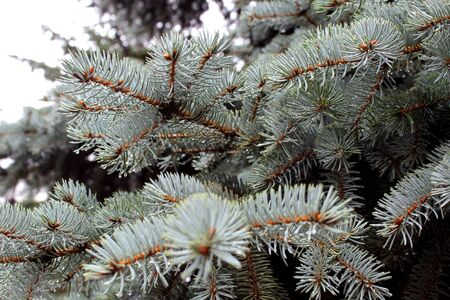 Drops of water after rain hang on a branch of spruce