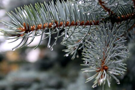 drops of water after rain hang on a branch of spruce Stockfoto