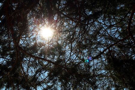 Sunlight spills through the branches of the spruce tree