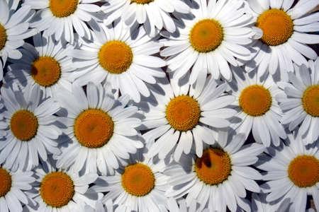 Texture closeup white daisy flowers summer day