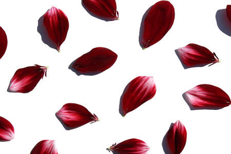 Burgundy petals with white strokes of dahlia on a white background