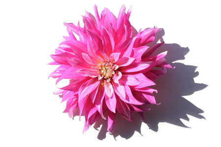 Pink dahlia bud on white background
