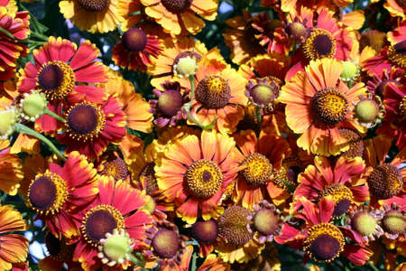 Texture orange flowers helenium autumn blooms in the open air Stock Photo
