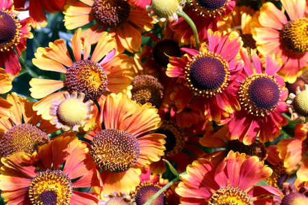 Texture orange flowers helenium autumn blooms in the open air Stock Photo
