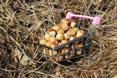 A pile of hazelnuts in a shopping cart against a background of dry hay Archivio Fotografico