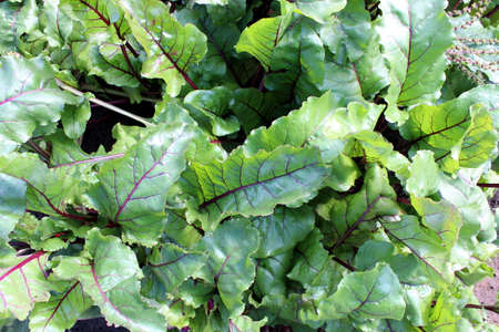 Beet leaves grow in the open air Stock Photo
