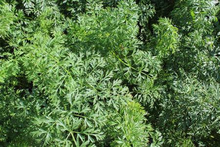 Green carrot grass growing in the garden