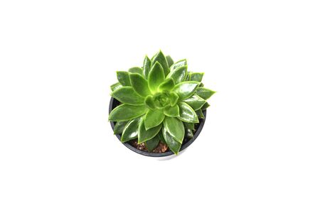 Succulent on a white background from above. You can use this flower in your compositions. 免版税图像
